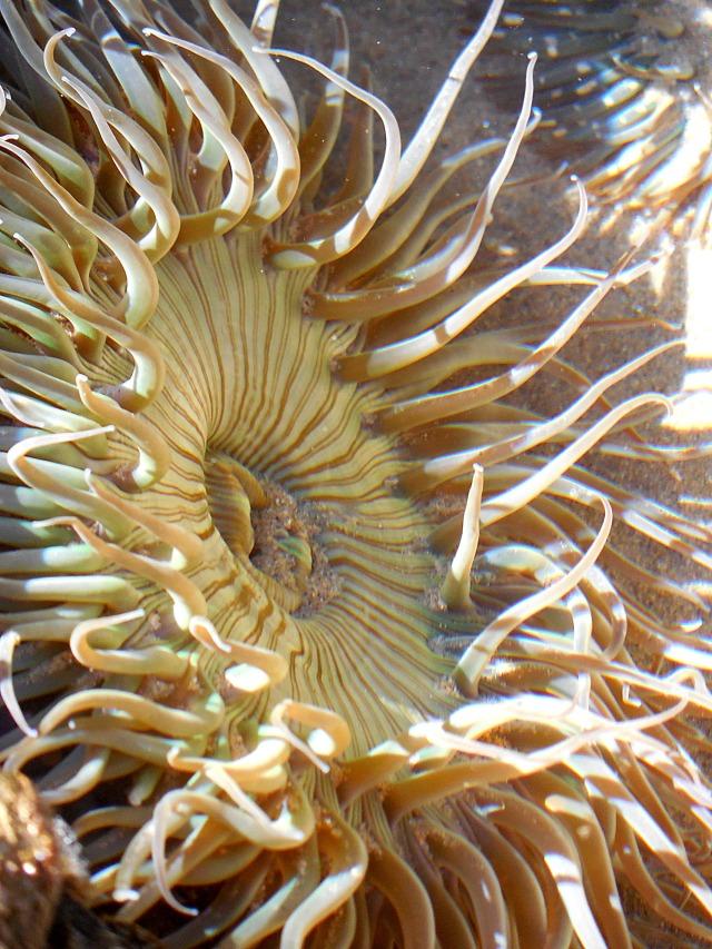 Sea Sunflower